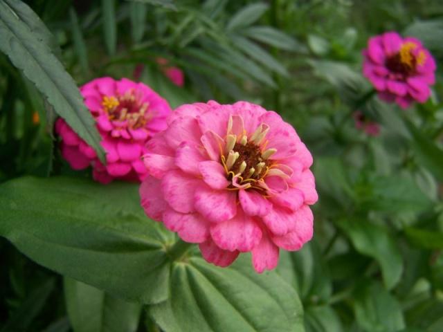 Quelques fleurs du jardin Fleurs16