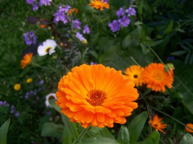 Quelques fleurs du jardin Fleurs17