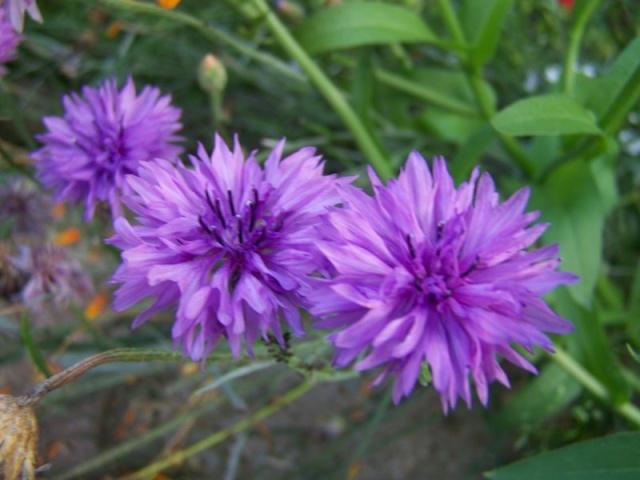 Quelques fleurs du jardin Fleurs18