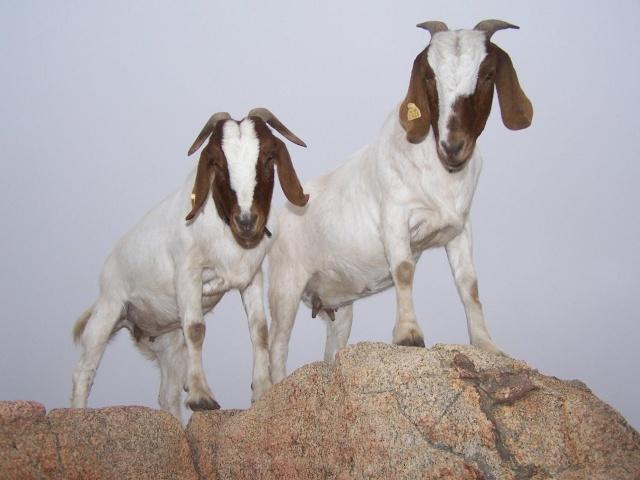 Les animaux de mon amie Dawn Goat-r10
