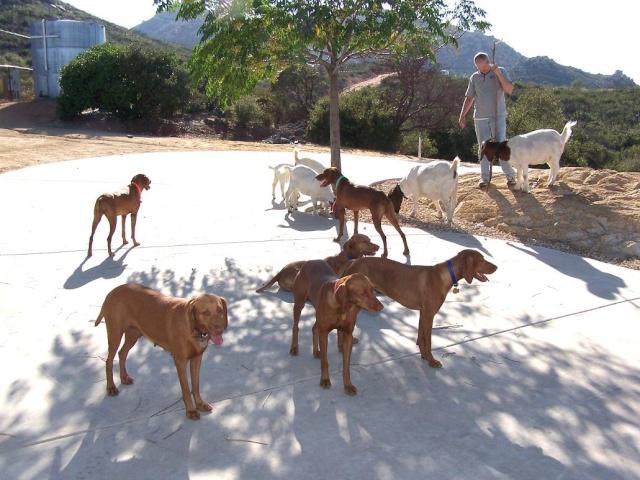 Les animaux de mon amie Dawn Goats-10