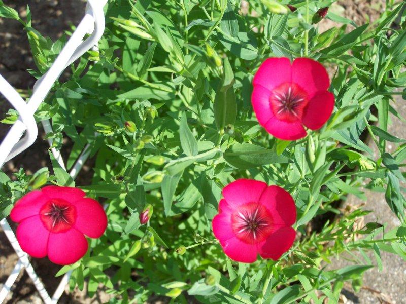 Quelques fleurs du jardin Lin_ro10