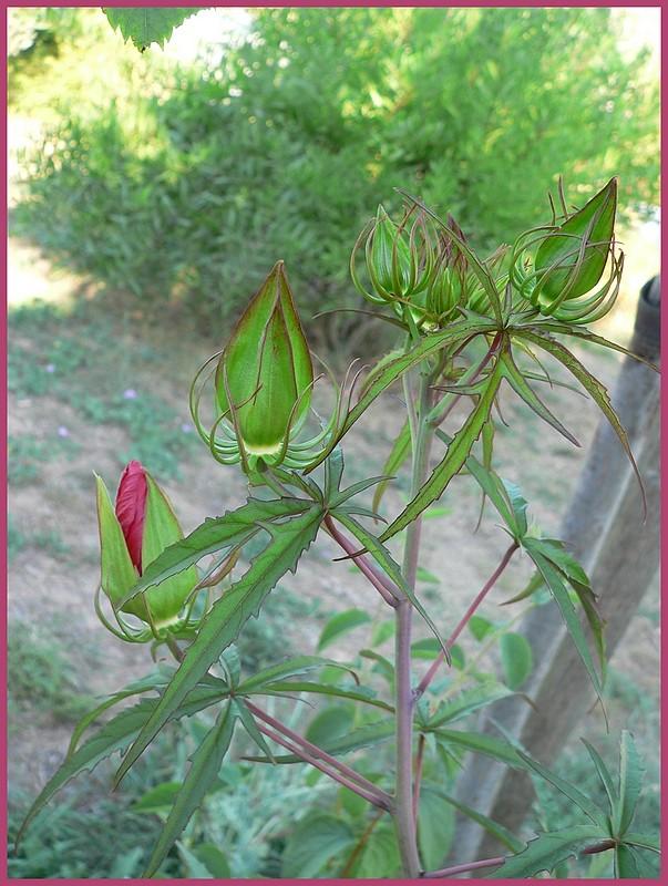 Hibiscus coccineus P1220710