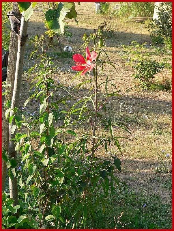Hibiscus coccineus P1220711