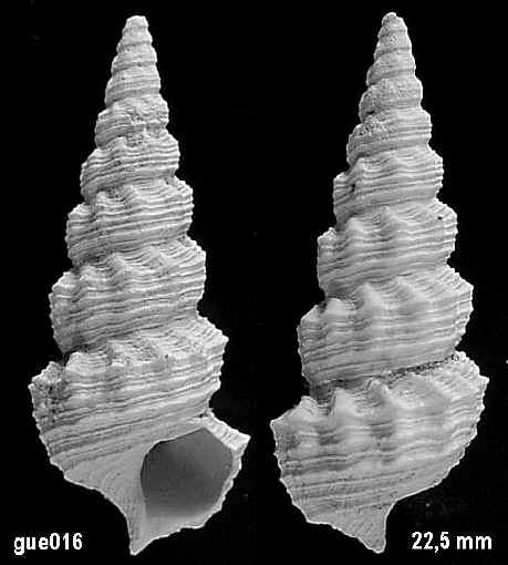 [résolu]Vicinocerithim bouei clandestina (DESHAYES, 1864) 01610