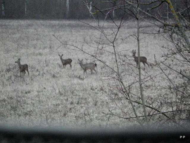 Mes sorties, Pirsch Affût  -  Saison de chasse 2010/2011 - Page 6 25_01_13