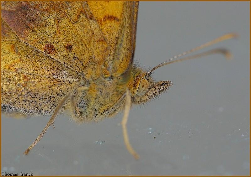 oeil de papillon, plus écailles sur aile, suite Photo_79
