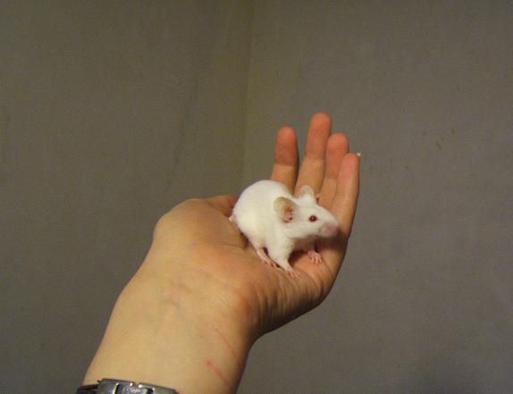 Plein de petites souris à l'adoption ! Babas_12