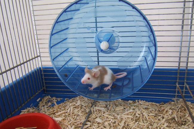Plein de petites souris à l'adoption ! Bebes_21