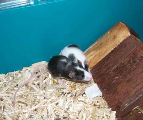 Plein de petites souris à l'adoption ! Malous11