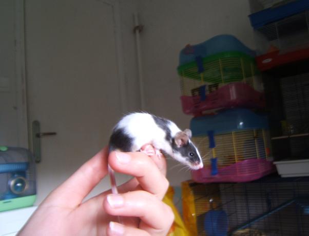 Plein de petites souris à l'adoption ! Malous33