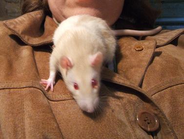 Pirate, rat mâle de 3 mois Pirate12