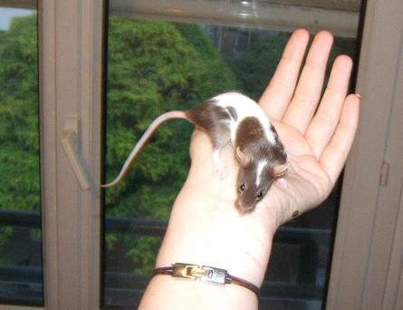 Plein de petites souris à l'adoption ! Rasine10