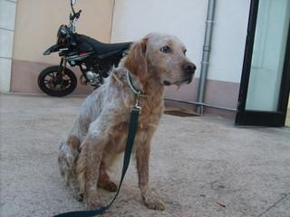 Ted croisé Setter Epagneul de 8 ans - malade et handicapé a besoin d'une FA URGENT - Corse S5003113