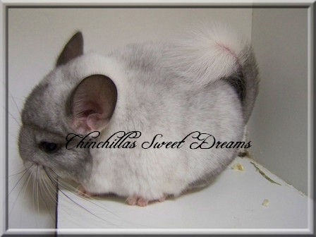 4 chinchillas à adopter  12_07_13