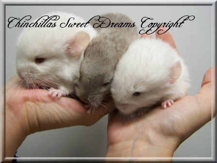 4 chinchillas à adopter  12_09_44