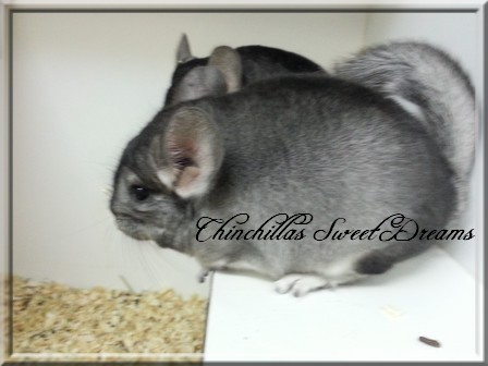 4 chinchillas à adopter  20120915