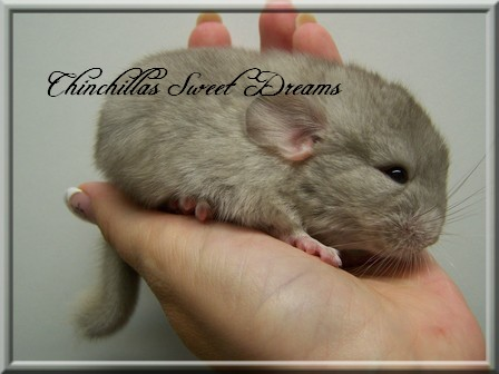 4 chinchillas à adopter  Maita_10