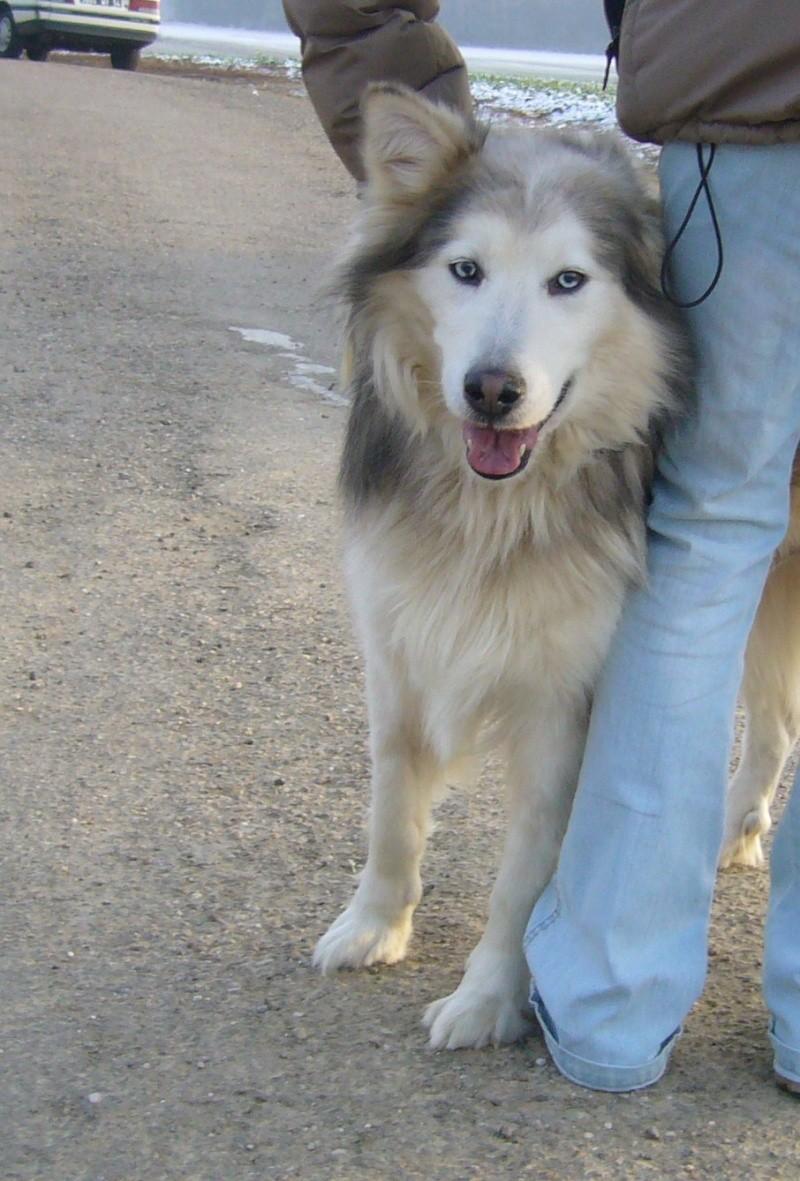 Titeuf, croisé husky aux poils longs, 10 ans, Nancy (54) P1020912