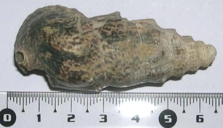 [résolu]Pseudovertagus aluco (LINNAEUS, 1758) Dscn4810