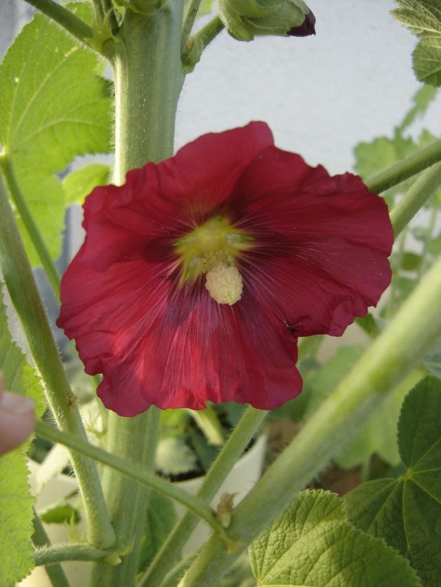 rose tremiere - Page 3 Dsc09120