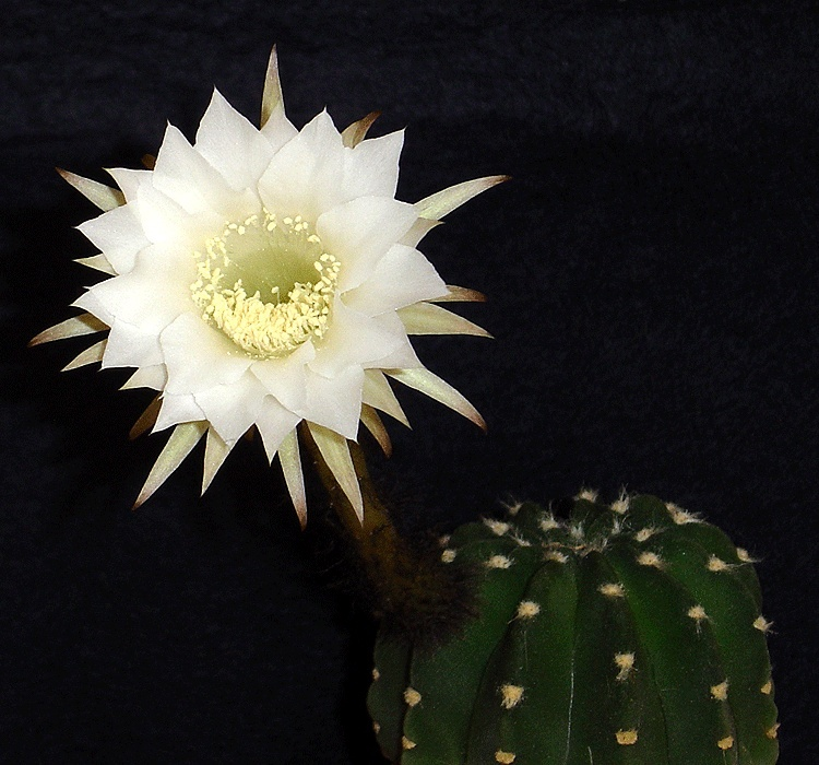 "Floraison pour ""9"" et ""53"" (Echinopsis subdenudata) 53-210"