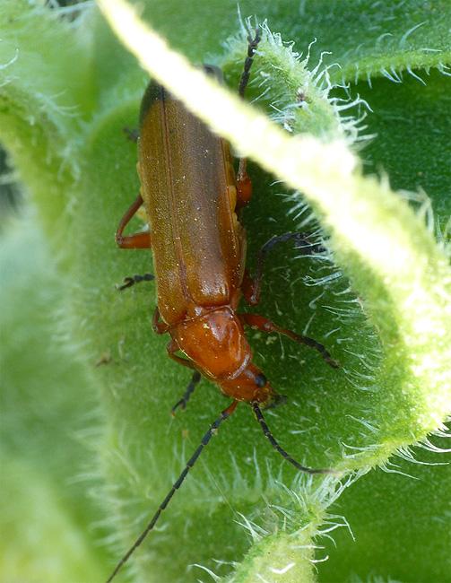 Insectes de mon jardin d'Anjou Insect11