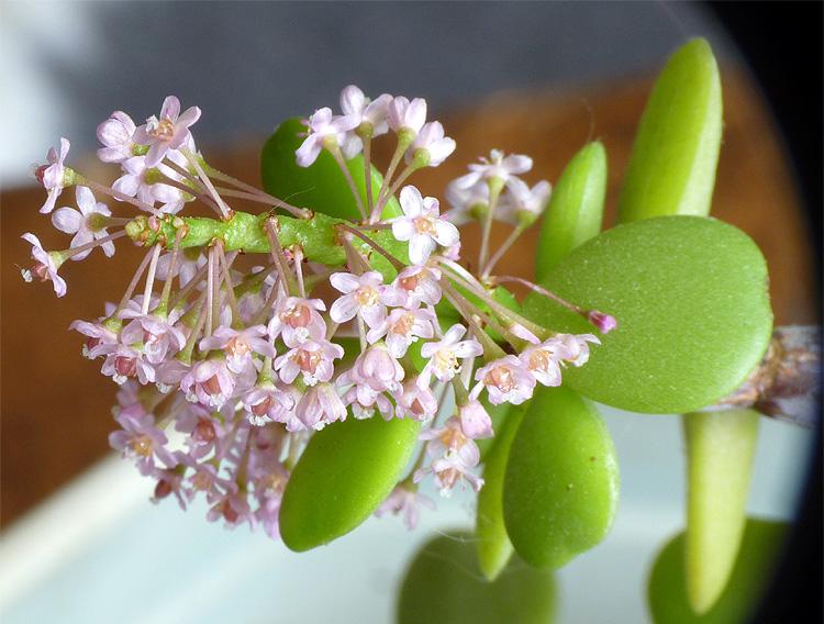 Plante en fleurs de Verso Plante10