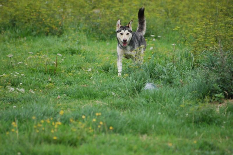 BIGUINE - femelle husky 2 ansDECEDEE - Page 2 Photos11