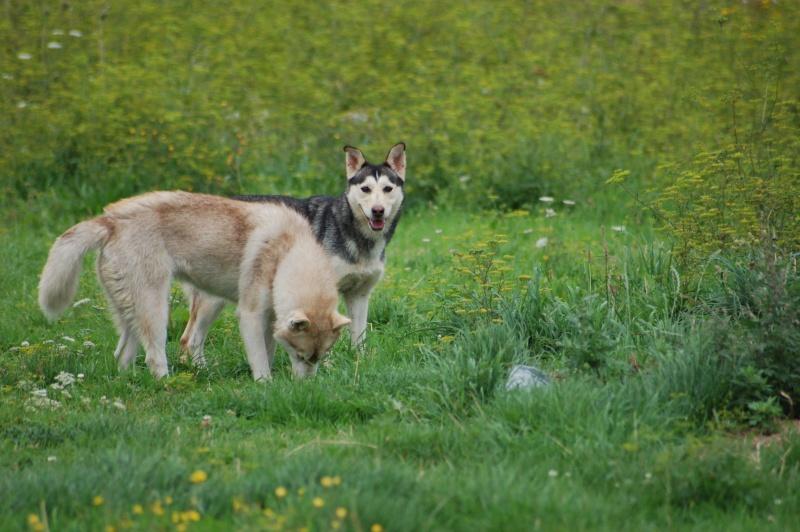 BIGUINE - femelle husky 2 ansDECEDEE Photos12