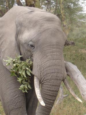 l'Éléphant Mange10