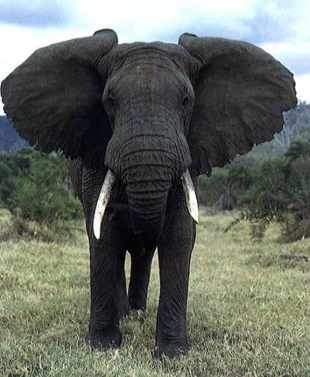 l'Éléphant Titre10