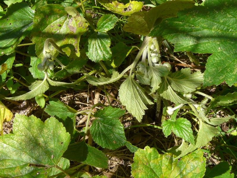 anemones du japon  Anemon13