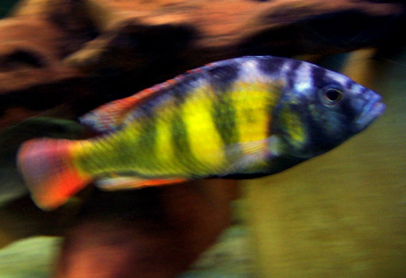 Haplochromis SP 44 100_4814