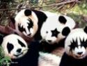 Wallpapers de KISS Panda_10