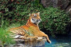Les tigres de Bengale ne sont plus que 1400 individus ! Les-ti10