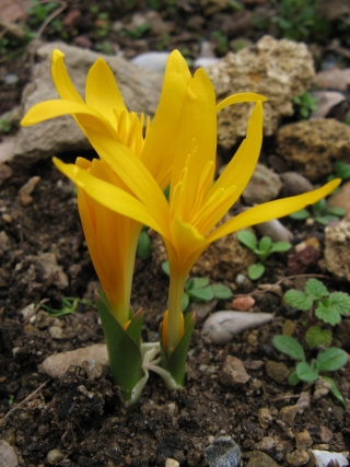 Colchicum luteum Img_1010