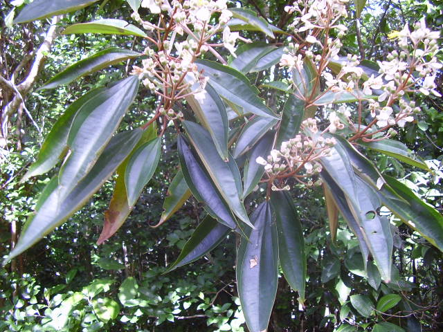 plantes tropicales a identifier A_soum11