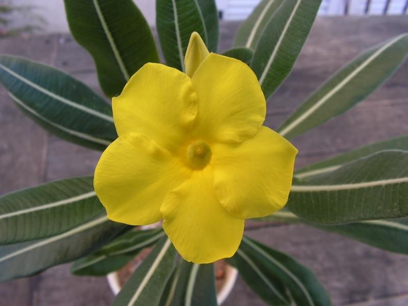 Pachypodium rosulatum Pict0016