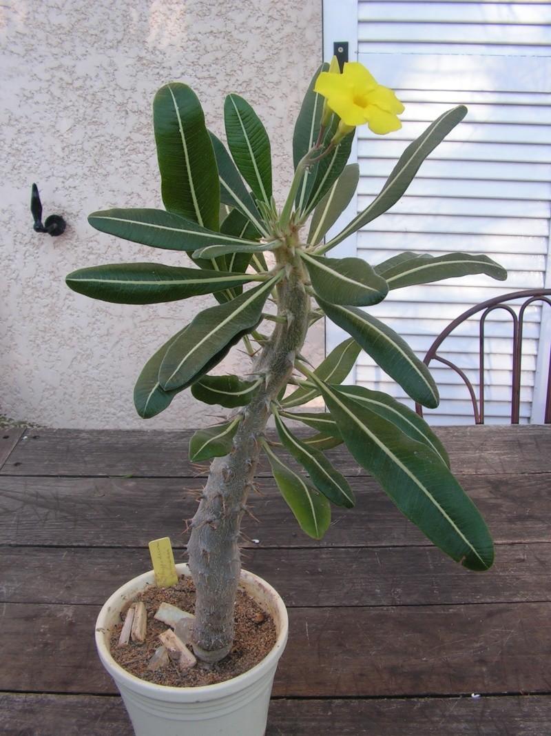 Pachypodium rosulatum Pict0017