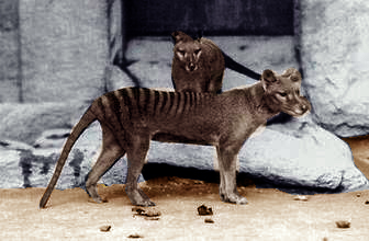 Le thylacine Thylac10