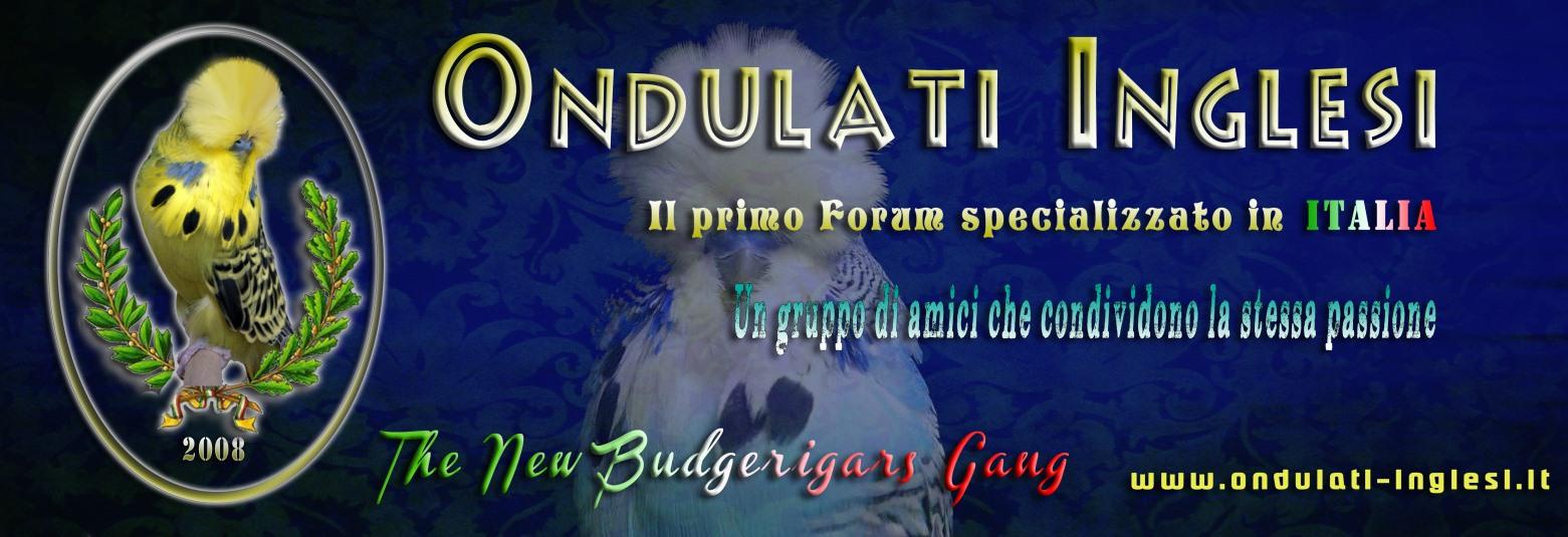 Budgerigars - Ondulati Inglesi