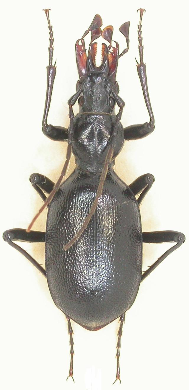 Cychrus angustatus, Boréon F-06 Dscn1312
