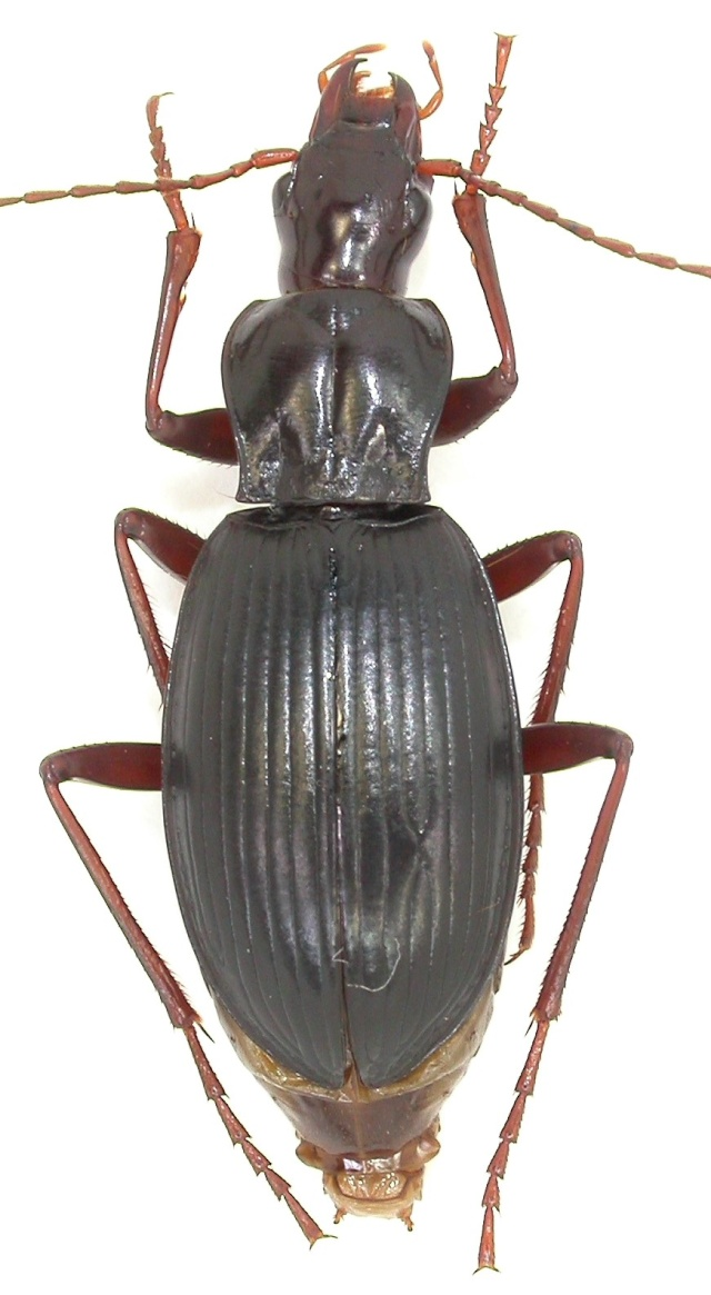 Actenipus oblongus ? Vallée d ' Aspe F-64 Dscn2211