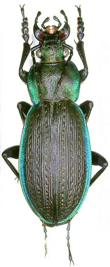 [C.(Morphocarabus) monilis] du Jura Dscn9010