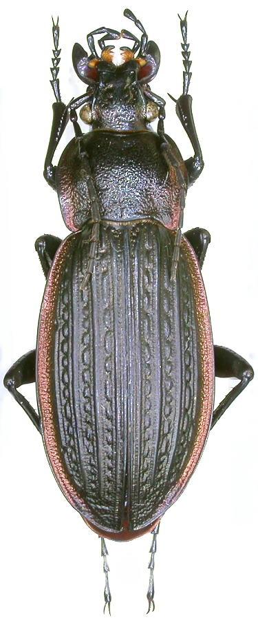[C.(Morphocarabus) monilis] du Jura Dscn9011