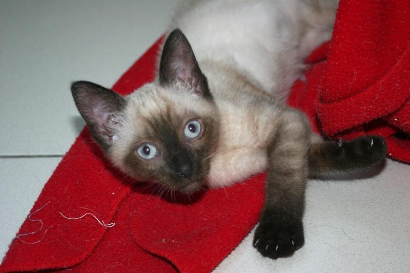 Perdue chatte typée siamoise à Frouzins depuis le 03/11 Img_2312