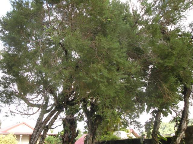 arbre à encens ? Arbre_11