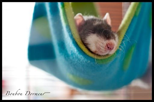 Comment dorment vos rats? - Page 5 Boubou11