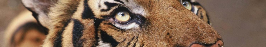 [RP] Animisme, Totems et esprits Tigre11